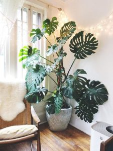 """large monstera house plant in corner of room next to window"""